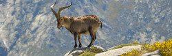 Ibex Capra on rocky mountain in in Spain for Gredos, Beceite, South eastern & Ronda in hunting area