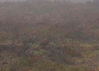 Red grouse on heather moorland, just visible due to very poor weather conditions of mist & fog, a cancelled shooting day.
