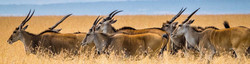 Small herd of Eland, close up in long dry Namibian grassland, in sustainable-use conservation area.