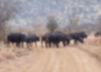 Buffalo-Cape-Hunting-Africa-Herd-Track-Z