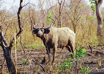 African Savanna buffalo in dry acacia thorn bush of west Africa, dagga boy standing firm on dry mud with nose to attention.