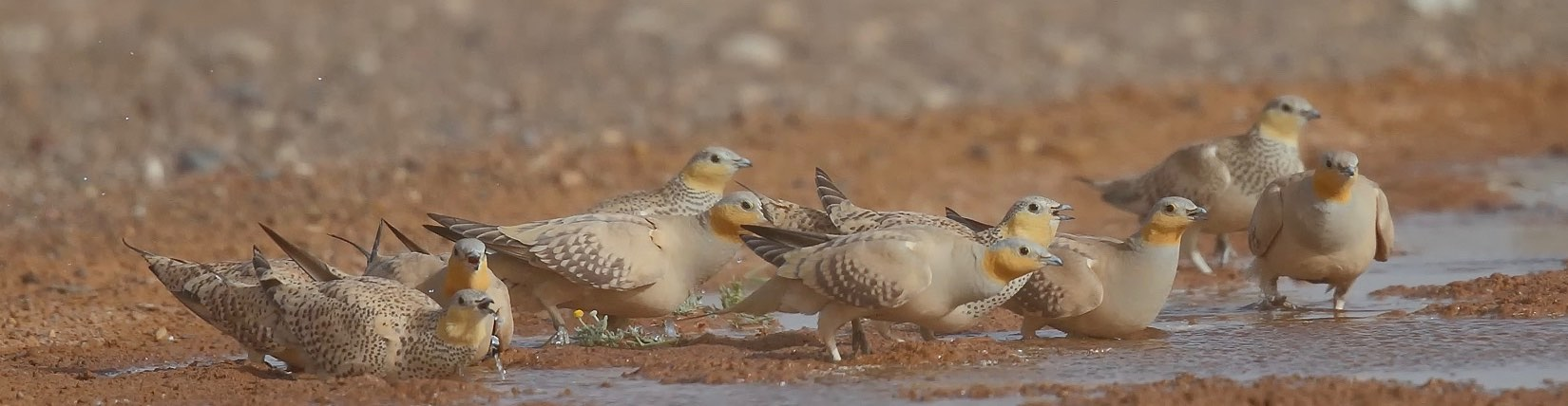 Gamebirds in Africa, drinking water in Namibia on a sustainable-use shooting safari.