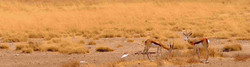 Two Thomson's gazelle in very dry grassland of Tanzania, close to classic hunting safari camp.