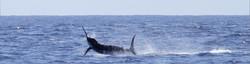 Marlin breaking the blue sea surface, off the Malindi game fishing coast of Kenya, East Africa.