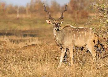 Africa-Namibia-Hunting-Safaris-Kudu-Bull