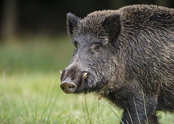 A keiler, mature male boar, front half of body, standing in meadow pasture, 200 kg, run at 30mph, making for exciting sport.