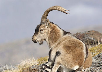 Southeastern Ibex laid down overlooking the Spanish region of Granada, Andalucia, near the Sierra Nevada hunting area.