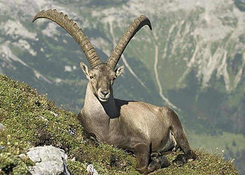 Alpine Ibex of Central Europe sitting in rocky mountain tundra, with lower, conservation hunting, pinewood pastures below.
