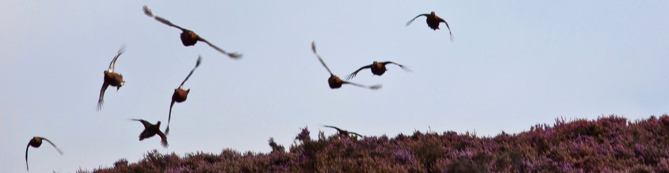 A driven low covey of grouse covey flying over rich biodiversity heather moorland skyline on managed