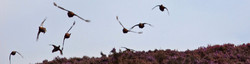 A driven low covey of grouse covey flying over rich biodiversity conservation heather moorland.