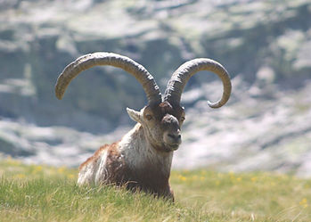 A large Gredos Ibex sitting in a hunting mountain grass pasture, with the Macizo Central of Spain behind.