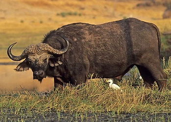 Cape Buffalo broadside & head down, small white stork in front, on the edge of a grass reed water swamp, in Zimbabwe, Africa.