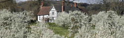 Sloe gin blackthorn berry bushes in blossom, on pheasant shooting and hunting estate, in Spring.
