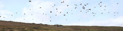 Large grouse pack flying high over shooting butt embedded into a managed heather moorland habitat.