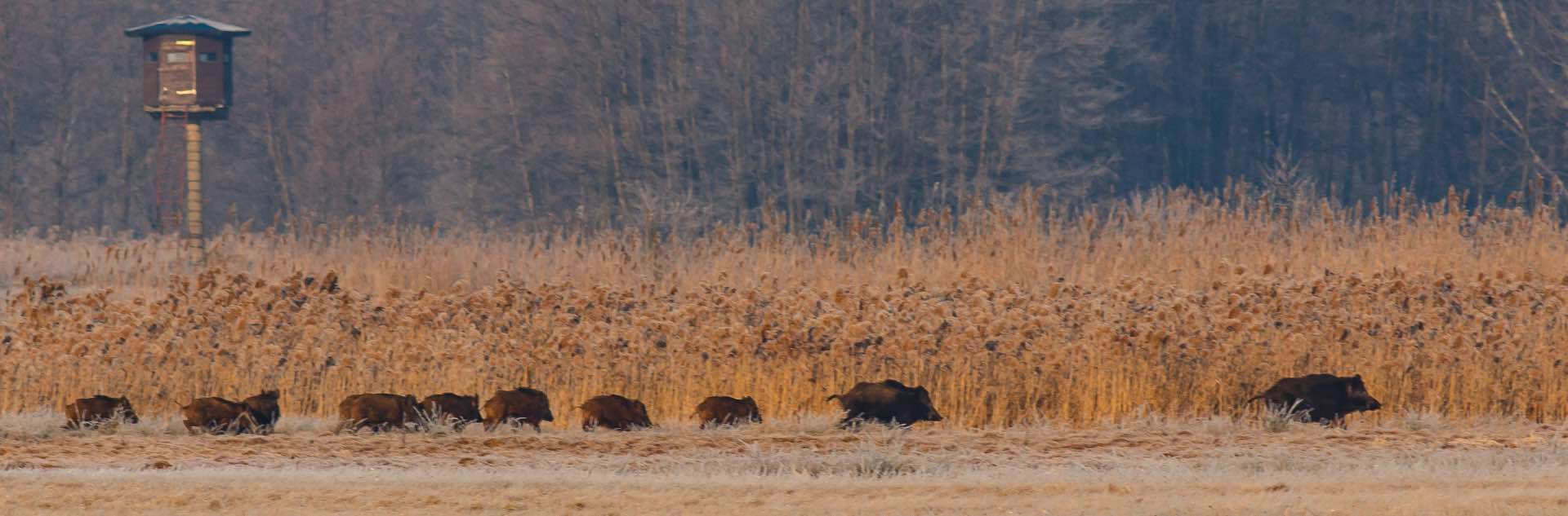 Driven wild boar shooting in Europe, control must be undertaken to avoid damage to farm crops and co