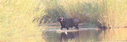 A lone cape buffalo on a conservation hunting safari, in the grassy swamps of Tanzania & Zimbabwe.