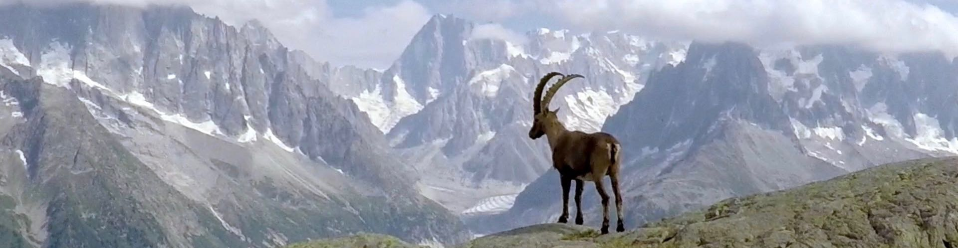 Alpine ibex in high mountain rocky pastures of central Europe, these hunting areas are shared with t