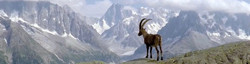 Alpine ibex in high mountain rocky pastures of central Europe, hunting areas shared with Chamois.