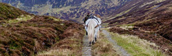 Hill pony bring red deer stag after successful stalking, hunting day in the Scottish highlands.