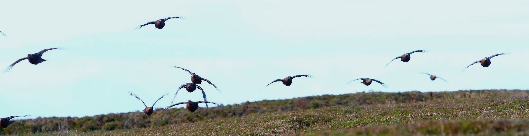 Red grouse flying fast & low over skyline young ling heather moorland habitat managed to produces a