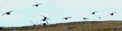 Red grouse flying fast & low over skyline of young ling heather moorland shooting habitat ecosystem.