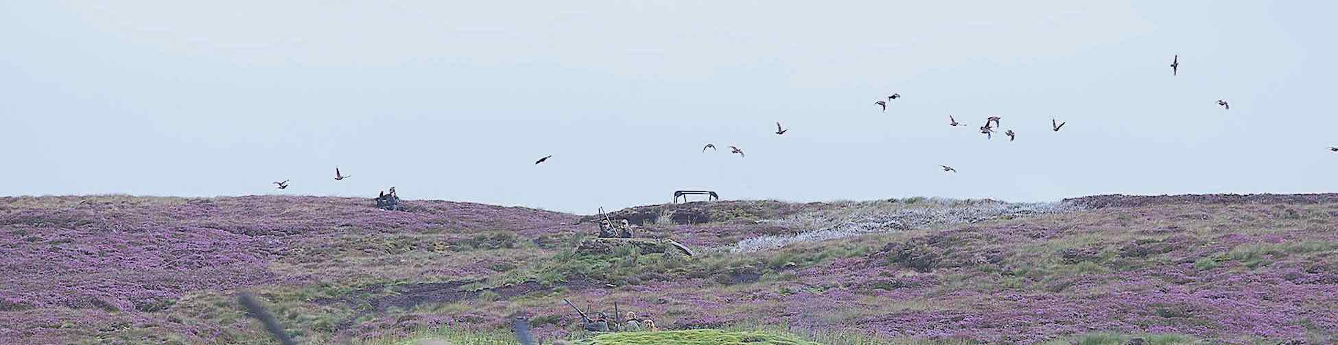 Driven grouse over shooting butts in mosaic of different aged burnt heather moorland, for a biodiver