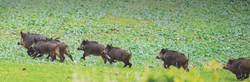 Wild boar being driven across folder crop in Europe for sustainable-use conservation management.