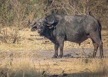 African cape buffalo, dagga boy, standing, worn skin, broadside, on dry in dusty Zimbabwe thorn bush acacia hunting area.