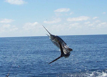 Billfish leaping & jumping from the Indian Ocean while fighting a big game sea fishing line off the coast of Malindi, Kenya.