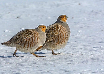 A pair Grey / English partridge in snow covered field; shooting conservation management creates winter feed and good habitat.