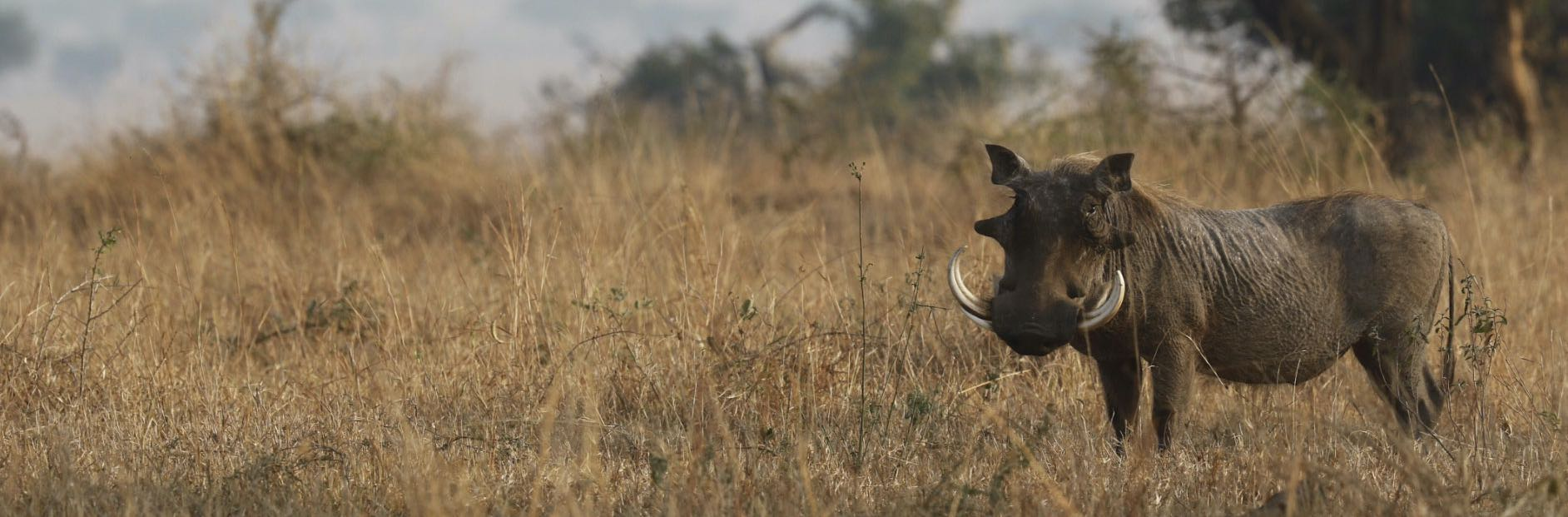 warthog-plains-bush-game-hunting-africa.