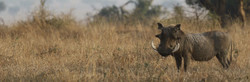Large warthog in scrubland bush in a sustainable-use hunting conservation concession in Zimbabwe.