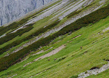 Chamois-Alpine-Mountain-Grazing-Stalking