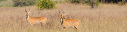 Impala in savanna bushland plain in an African sustainable hunting conservation for safaris