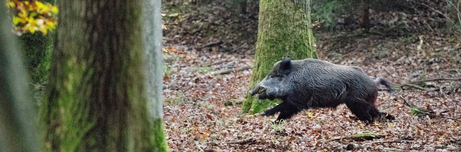 Wild boar hunts are organised as driven days from platform stands or from high seats or boxes at dus
