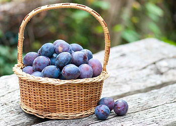 Sloe & damson berries & plums in wicker basket on garden table, sustainable sourced from shooting conservation hedgerows.