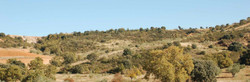 Classic Spanish driven high partridge shooting landscape of olive trees & rocky dry scrubland..