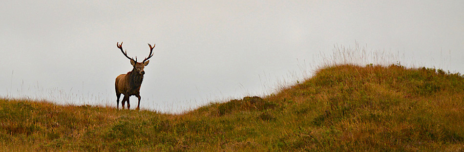 Lone red deer stag on grassy hill shoulder, community led, sustainable-use, stalking conservation.