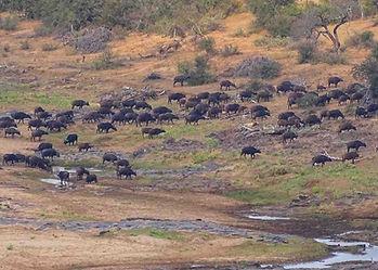 Buffalo-Cape-Hunting-Africa-Safaris-Herd