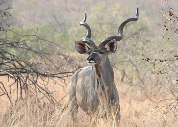 Plains-Game-Hunting-Africa-Namibia-Kudu-