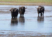 Buffalo-Cape-Hunting-Africa-Safaris-Swam