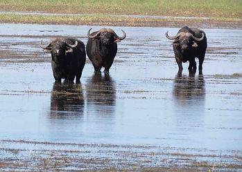 Buffalo-Cape-Hunting-Africa-Safaris-Swam