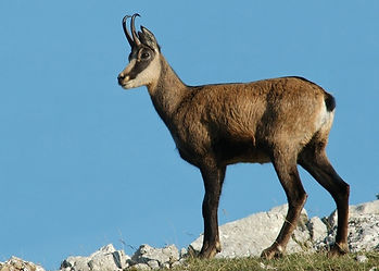 A Balkan Chamois standing alert on the summit of the coastal Dalmatian hunting mountains of Croatia, looking out to seas.