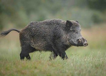 A mature male wild boar, a keiler, walking in a grass meadow, on the Croatia / Serbia border, in the driven shooting forest.