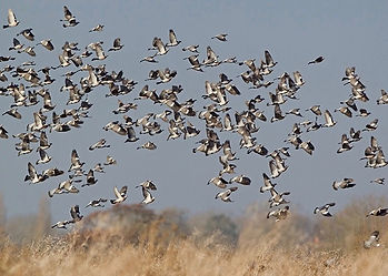 Very large flock of woodpigeons, over an arable field with a thick hedge, being decoyed for pigeon shooting crop protection.