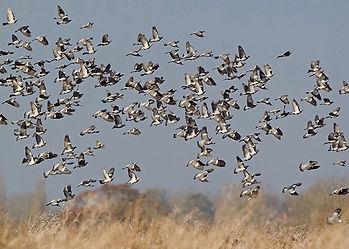 Woodpigeon-Shooting-Decoying-England-Syb