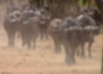 Buffalo-Cape-Hunting-Africa-Herd-Tanzani