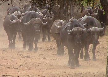 Buffalo-Cape-Hunting-Africa-Herd-Tanzani