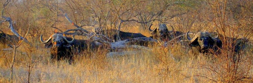 Dagga boy herd of African Cape Buffalo sitting in thick scrubland grasslands in Zimbabwe lowveld.