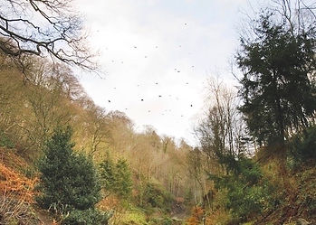 Driven pheasant shooting valley in Devon, mixed tree species woodland, birds flying high over guns on a November windy day.
